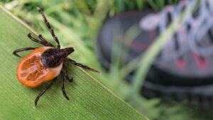 man in need of tick repellent as tick sits on a leaf over a hikers shoe